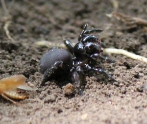 Mouse Spider (Missulena bradleyi) from Brisbane Queensland