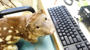 Photo of Quentin the Northern Tiger Quoll at his computer
