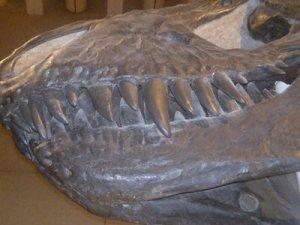 T-Rex scull cast at Queensland Museum