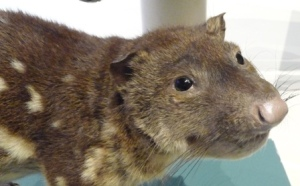 Image of Quentin the Quoll