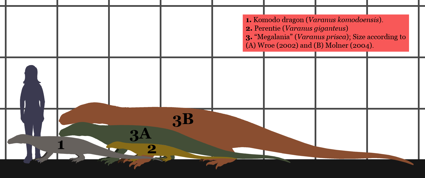 """Estimated sizes of the extant monitor lizards Komodo dragon and Perentie, compared to different estimated sizes of the """"Megalania"""" (Varanus prisca)."""