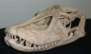 Megalania skull replica